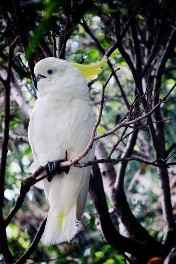 Cockatoo Bird Nature Animal Themes Animal Wildlife Nature_collection Bird Photography Birds Of EyeEm  Birds_collection Forest White Bird Bird Of Brazil Branch Animals In The Wild