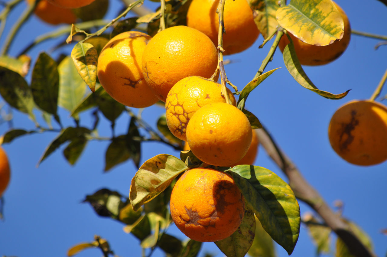 Low Angle View Of Oranges On Branch Against Sky
