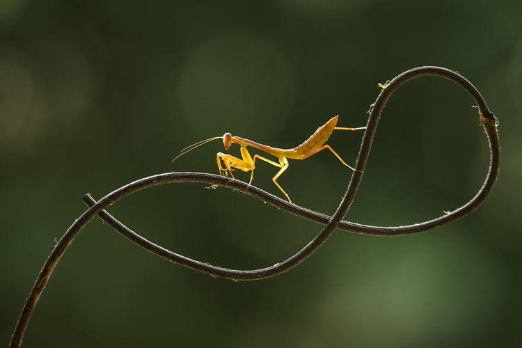 Brown mantis on unique branch