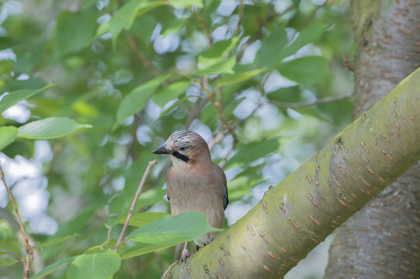 The Eurasian jay in the Hamburg city park Eurasian Jay Garrulus Glandarius Jung's Bird Songbird  Acorns Animal Animal Themes Animal Wildlife Animals In The Wild Bird's Kind Fledgling Jay Nature Park Raven Bird Sparrow's Bird Town Park