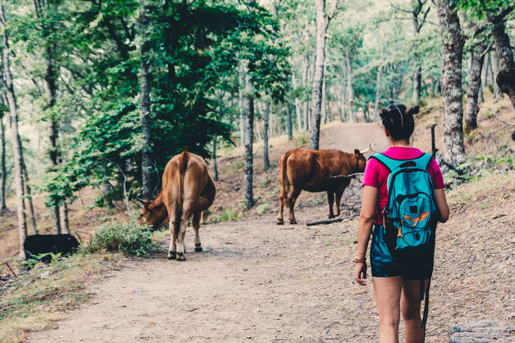 Girl scout hiking and walking among the cows in the forest.