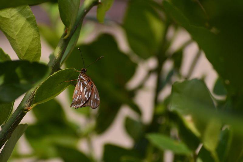 BORBOLETA Butterfly Limao Limao Lemon Tree Arvore Focus Foco Desfocado Verde Green Close-up