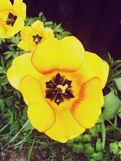 Garden Tulip Yellow Flower Flowering Plant Plant Inflorescence Flower Head Freshness Beauty In Nature Nature No People Outdoors Day Close-up
