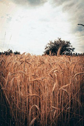 Wheat all