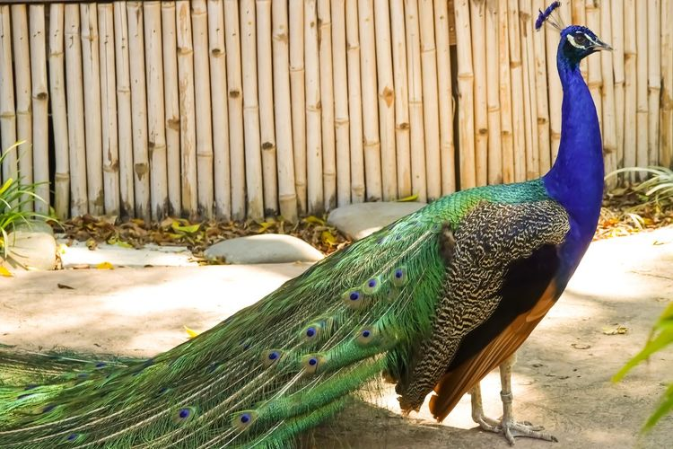 Peacock in all her splendor Animal Animal Themes Bird Peacock Vertebrate One Animal Animals In The Wild