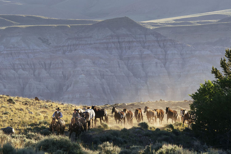 Cowboys with herd of horse on field
