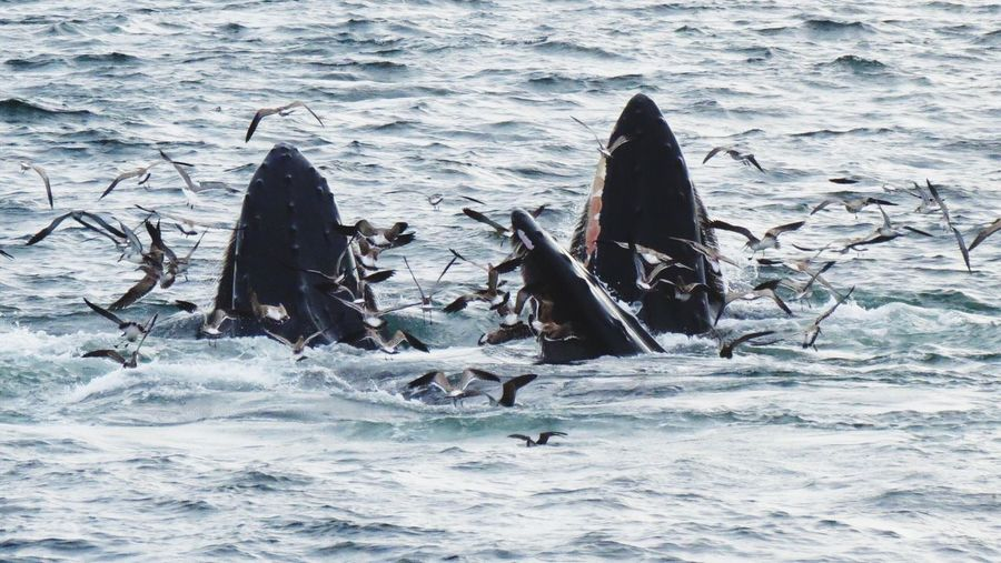 Humpback whales in sea