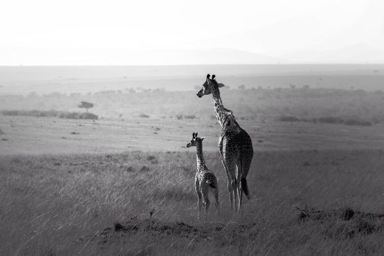 Giraffe With Its Calf