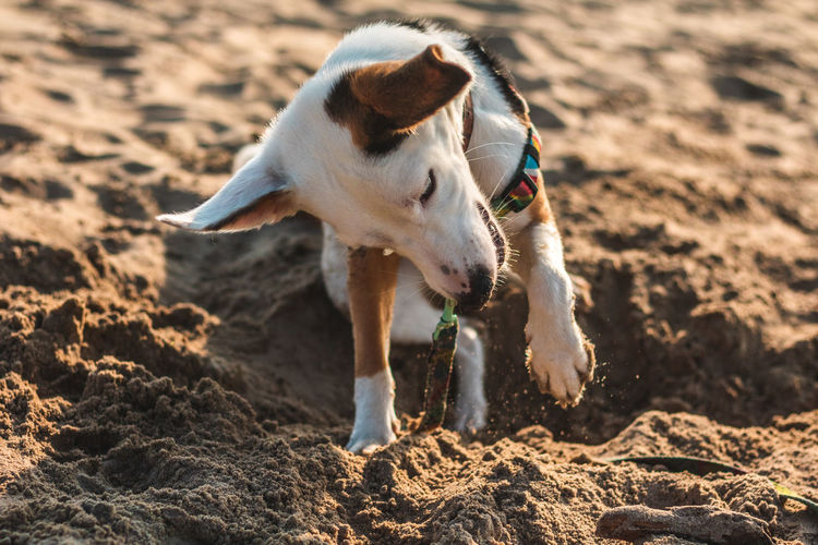 First time on a beach One Animal Mammal Domestic Animals Dog Canine Domestic Pets Vertebrate Beach Seaside Playing Dogs Puppy Ears Happy Jumping Looking At Camera Animal Themes Animal Land Sand Sunlight Nature No People Day Focus On Foreground Running Looking Jack Russell Terrier Searching
