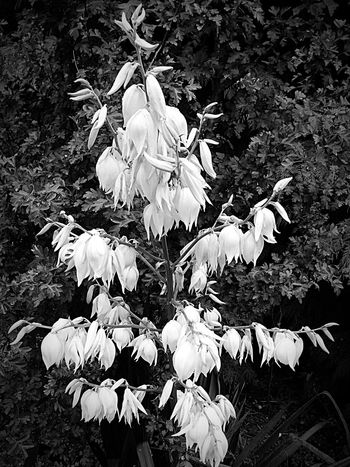 Cascade of white Flowerporn Flowers Blackandwhite Walking Around IPhoneography Darkness And Light Plants Flowers,Plants & Garden Garden