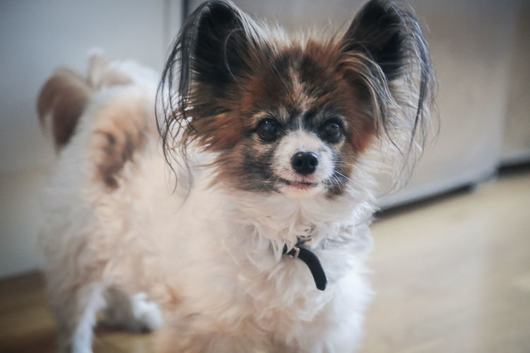 Cute Pets Animal Animal Hair Animal Themes Animals Canine Close-up Cute Dog Domestic Domestic Animals Focus On Foreground Full Frame Indoors  Lap Dog Looking At Camera Mammal No People One Animal Papillon Dog Pets Portrait Small Smiling Face Vertebrate