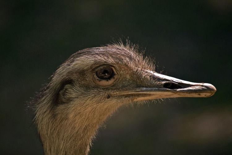 Bird Photography Bird Close-up Focus On Foreground Nandu Nature No People One Animal