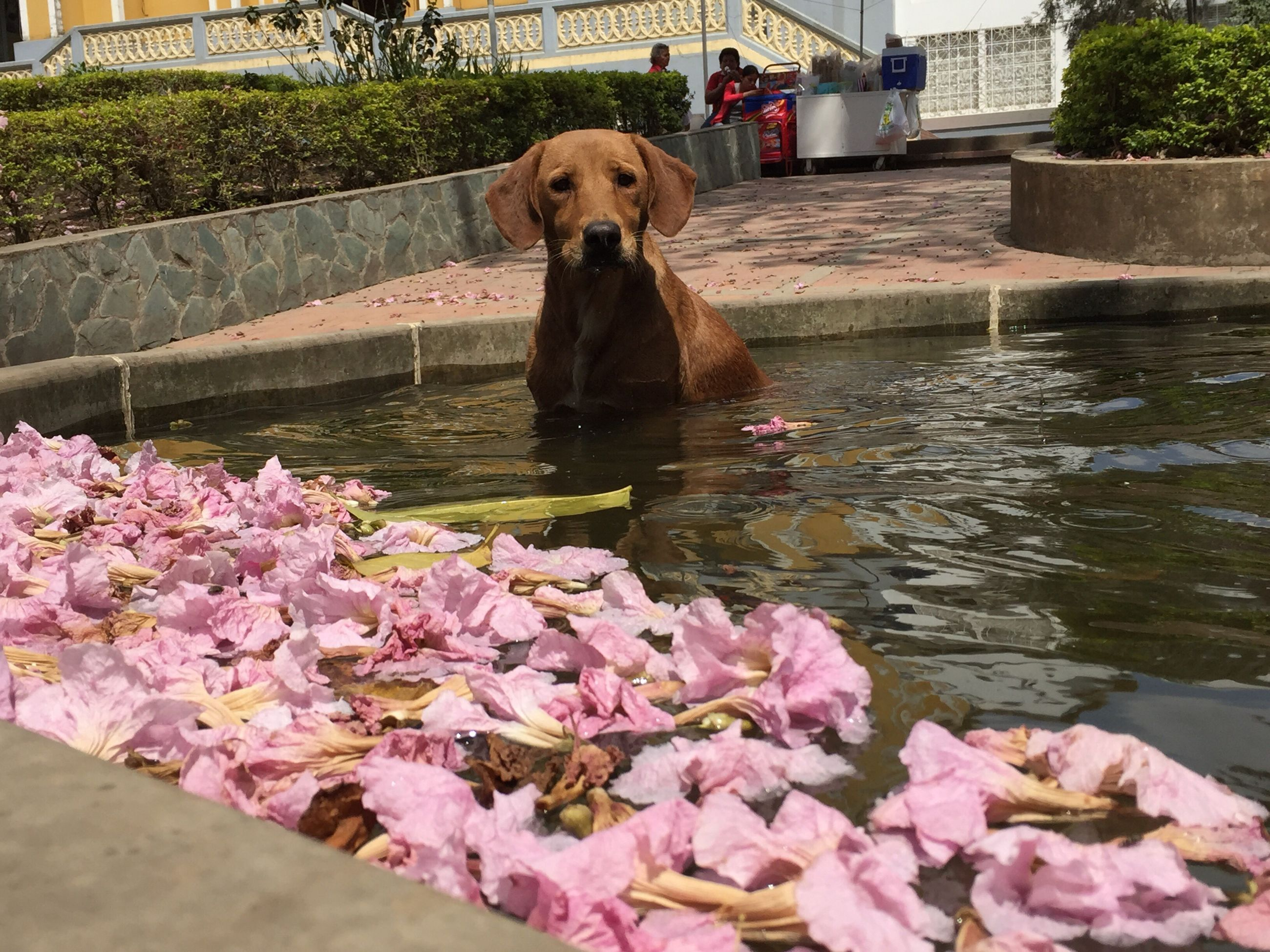 flower, dog, animal themes, pets, one animal, domestic animals, pink color, water, built structure, mammal, sitting, building exterior, full length, architecture, freshness, pond, outdoors, plant, day, nature