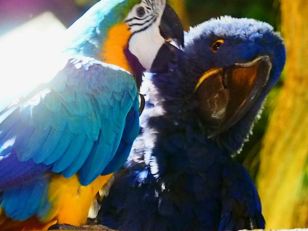 Love is in the air ❤❤ 👼. Happy Valentine's Day ya'll 😍 These birds have a better love life than me 😒😢 Preaning Love Happyvalentinesday Bird Parrot Macaw Multi Colored Animals In The Wild Gold And Blue Macaw One Animal Blue Animal Themes Close-up Nature Perching Animal Wildlife