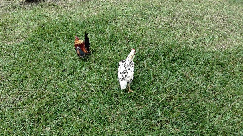 when we have the oppurtunity Fleed Chicken Village Breed Northborneo Gansau Nature