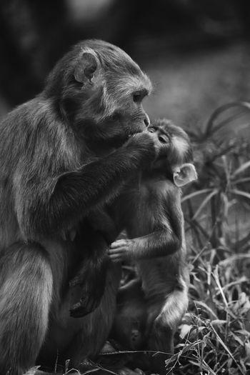 Ape Close-up Primate Chimpanzee Madagascar  Japanese Macaque Grooming Zoo Animal Trunk Baboon Leash Gorilla Infant Elephant Calf Monkey African Elephant Orangutan Lemur Tusk