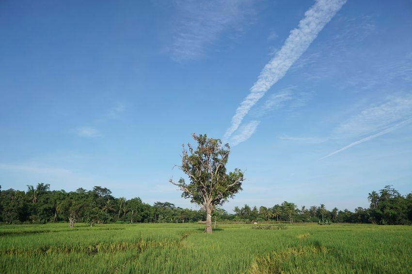 Cirebon, 2018. Tree Field Nature Growth Landscape Beauty In Nature Scenics Tranquil Scene Sky Blue No People Agriculture Tranquility Rural Scene Day Outdoors Vapor Trail Contrail EyeEmNewHere