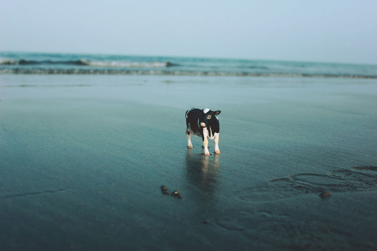 View of cow miniature on calm beach against clear sky
