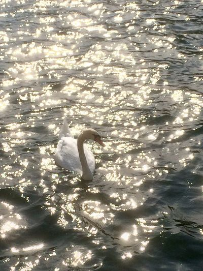 On this hot summer day, there was an armada of swans on the Limmat river, bathed in evening sunlight Swan River Water Water Reflections Waves