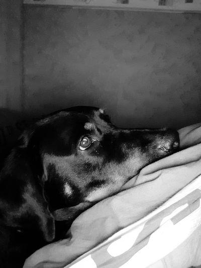 #amidel'homme bien plus fidèle. Beauceron Labrador Pets Dog Close-up Black Labrador At Home Canine
