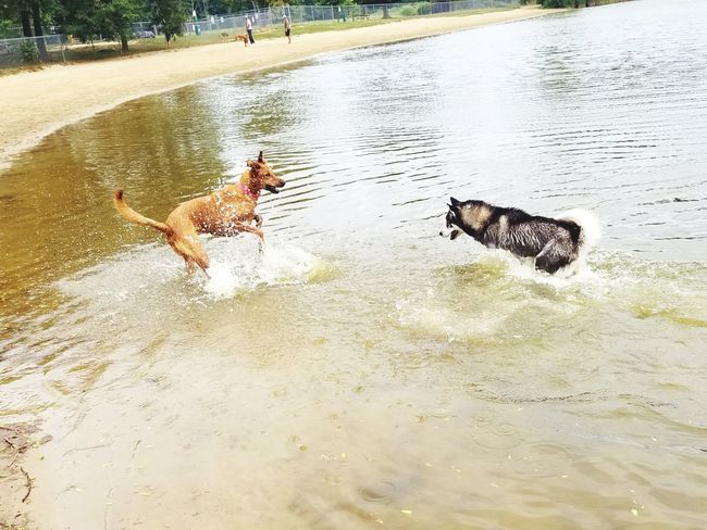 Husky dog Water Wet Day Outdoors Leisure Activity Real People Lifestyles Tree Boys Childhood Swimming One Person Nature People Mammal
