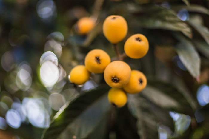 Loquats Beauty In Nature Bokeh Bokeh Photography Bokehlicious Close-up Dark Green Day Food And Drink Freshness Fruit Green Leaves Hanging Loquats Nature No People Orange Orange Color Organic Outdoors Ready To Pick Ripe Sweet Tree Yellow Yellow Color