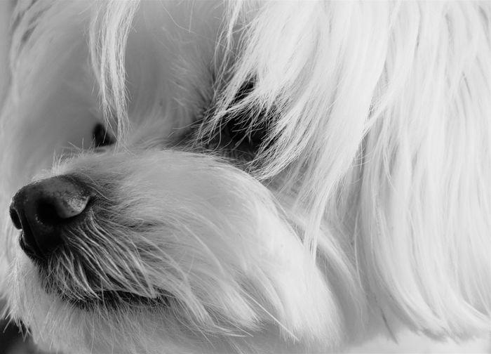 Mi compañera de viajes, mi estandarte de emociones, mi pequeña en todas las ocasiones 🐶📸😘 Bichon Blackadnwhite Close-up Day Dog Domestic Animals Indoors  Mammal No People One Animal Pets