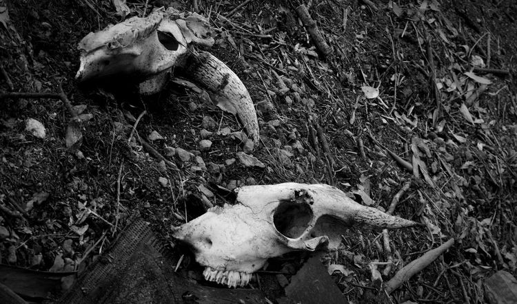Split skull. Animal Bones Skull Skeletal Remains Cow Skull Bones Black And White