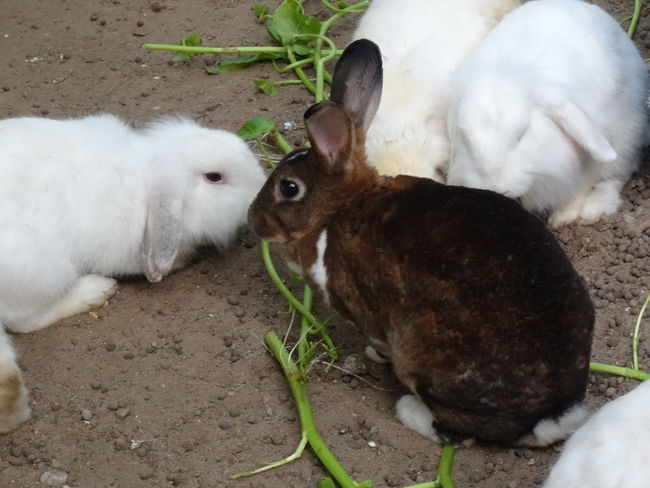 lovely annimal Animal Themes Close-up Day Domestic Animals Mammal Nature No People Outdoors Rabbit - Animal Rabbits Togetherness กระต่าย กระต่ายตัวน้อยๆ