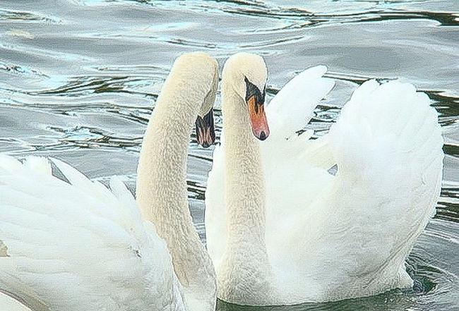 Swan Water Nature Beak Day Outdoors Animal Behavior Water Bird No People Tranquility Beauty In Nature