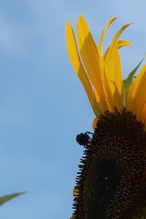 Sunflower Plant Yellow Sky No People Close-up Nature Beauty In Nature Freshness Blue Flower Growth Flowering Plant Vulnerability  Fragility Low Angle View Flower Head Petal Inflorescence Outdoors Pollen