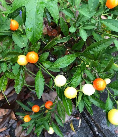 季節の変わり目、、 Leaf Plant Part Food Healthy Eating Food And Drink Growth Fruit Orange Color Green Color Beauty In Nature Nature