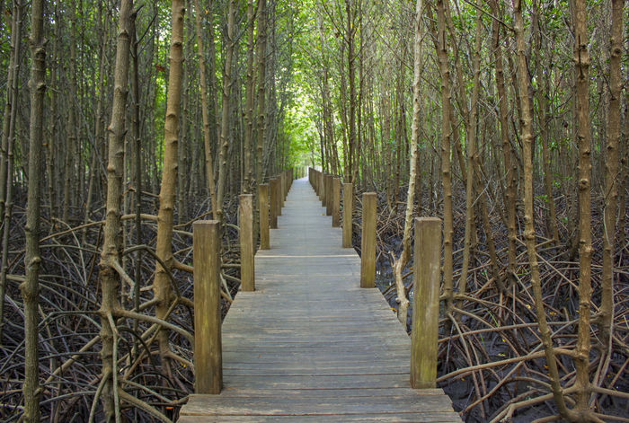 Mangrove Forest Beauty In Nature Forest Landscape Mangrove Mangrove Life Mangrove Roots Nature The Way Forward Tree Tree Trunk Walk Way