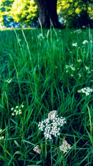 Cowparsley Grassland Quiet Place  Quiet Moments Country Life Silent Moment Quiet Places Greenery Countryside Relaxed Moments Animal Themes Wildflower Blooming Uncultivated In Bloom Flowering Plant Botany