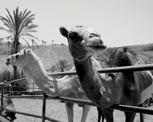 Crazy Camel ..