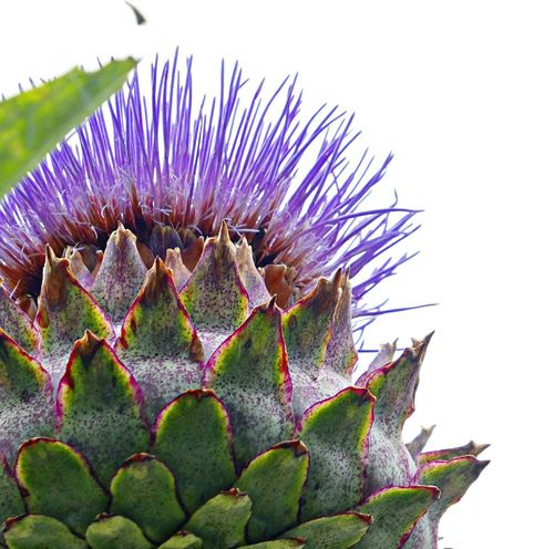 A bee will swoon over the cardoon! Huge and hardy, with their glorious lavender flowers and spectacular seed heads, cardoons are stunning giants... Cynara Cardunculus Cardoon White Background Sky Purple Flower Spiked Nature Close-up Flower Head Outdoors Nature And Nurture View From Below EyeEm Nature Lover For The Love Of Photography No People Green Color Giant Thistle Beauty In Nature Freshness Growth Perspectives On Nature
