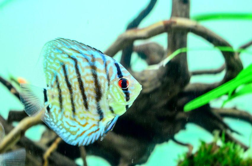 Discus Fish Discusfish Tropical Fish Colour Of Life
