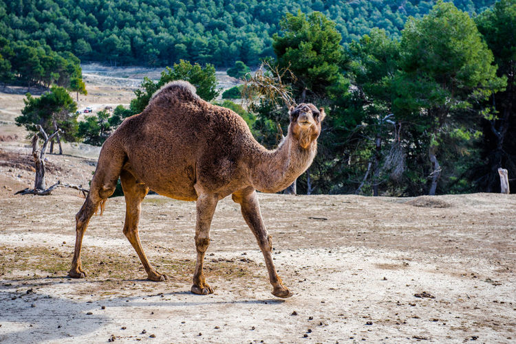 Side view of camel walking on road