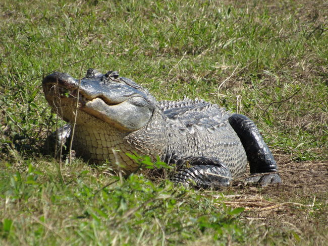 Alligator Beauty Of Nature Nofilterneeded Protected Areas Wildlife Outdoors Capture The Moment Nature Photography Lovers