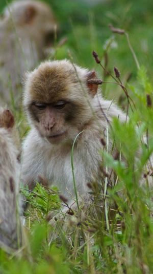 Animals In The Wild Animal Themes Mammal Wildlife Monkey Grass No People Field Day Outdoors Animal Wildlife Nature Close-up Japanese Macaque Beauty In Nature EyeEm Nature Lover EyeEm Gallery Nature Animals In The Wild Denmark 🇩🇰🇩🇰🇩🇰 Giveskud
