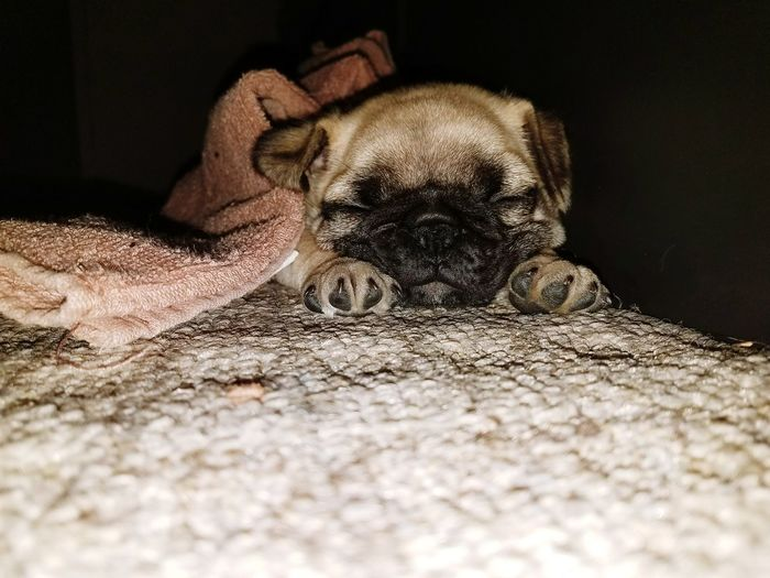 Indoors  No People Close-up Animal Themes Mammal Day Pug Puglife Pug Life ❤ Pug Puppy Puglover Pug Sleeping Pug Girl