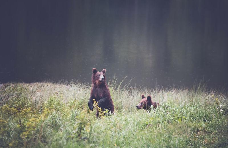 Bears relaxing at lakeshore