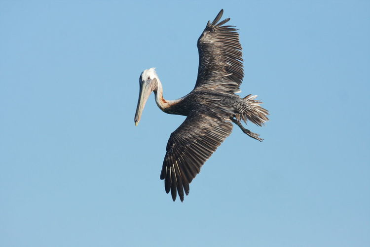 Animal Themes Animal Wildlife Animals In The Wild Bird Bird Of Prey Clear Sky Day Flying Nature No People One Animal Outdoors Pelican Sky Spread Wings