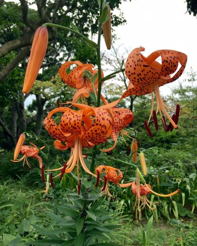 Plant Flower Nature Lilly EyeEm Flower ユリ オニユリ 花