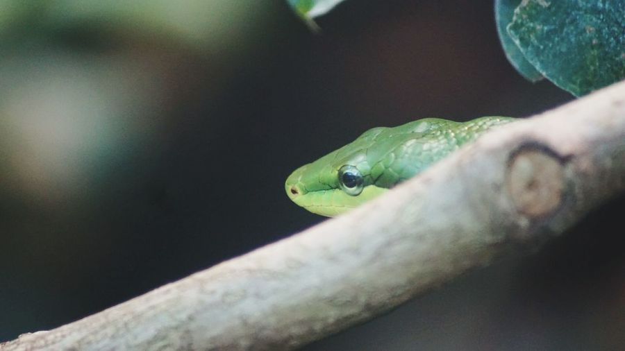 Close-up of green snake by twig