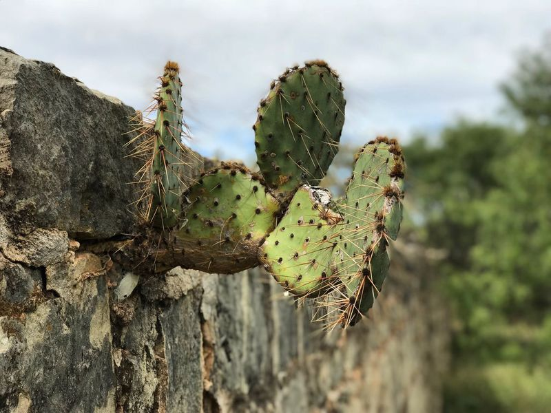 Cactus Nature Growth Spiked Thorn Plant Focus On Foreground Green Color Prickly Pear Cactus Day Outdoors No People Close-up Beauty In Nature Sky Saguaro Cactus Tree