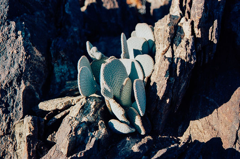 some blue cactus 35mm Film Cactus California Camping Close Up Close-up Desert Desert Beauty Deserts Around The World Detail Film Film Photography Filmisnotdead Hikingadventures Joshua Tree Natural Pattern Nature Photography Naturelovers On The Road Plant Road Trip Textured  Trail Velvia