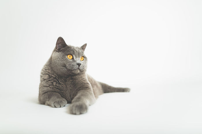Animal Eye Animal Head  British Shorthair Cat Close-up Domestic Cat Feline Lying Down Mammal No People Pets Portrait Relaxation Resting Selective Focus Studio Shot Whisker White Background