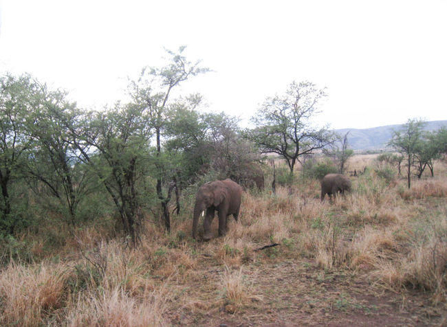 Elephants in a bush African Elephant Animal Themes Animal Wildlife Animals In The Wild Beauty In Nature Clear Sky Day Elephant Grass Landscape Mammal Nature No People Outdoors Safari Animals Sky Standing Tree Tusk