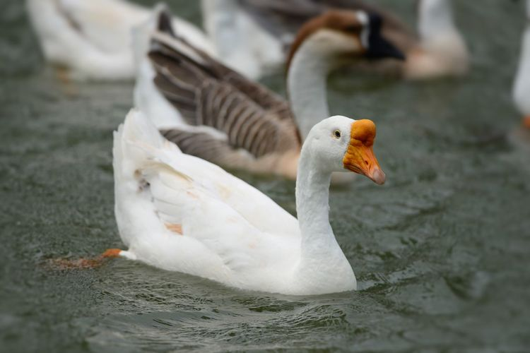 High angle view of geese swimming on lake